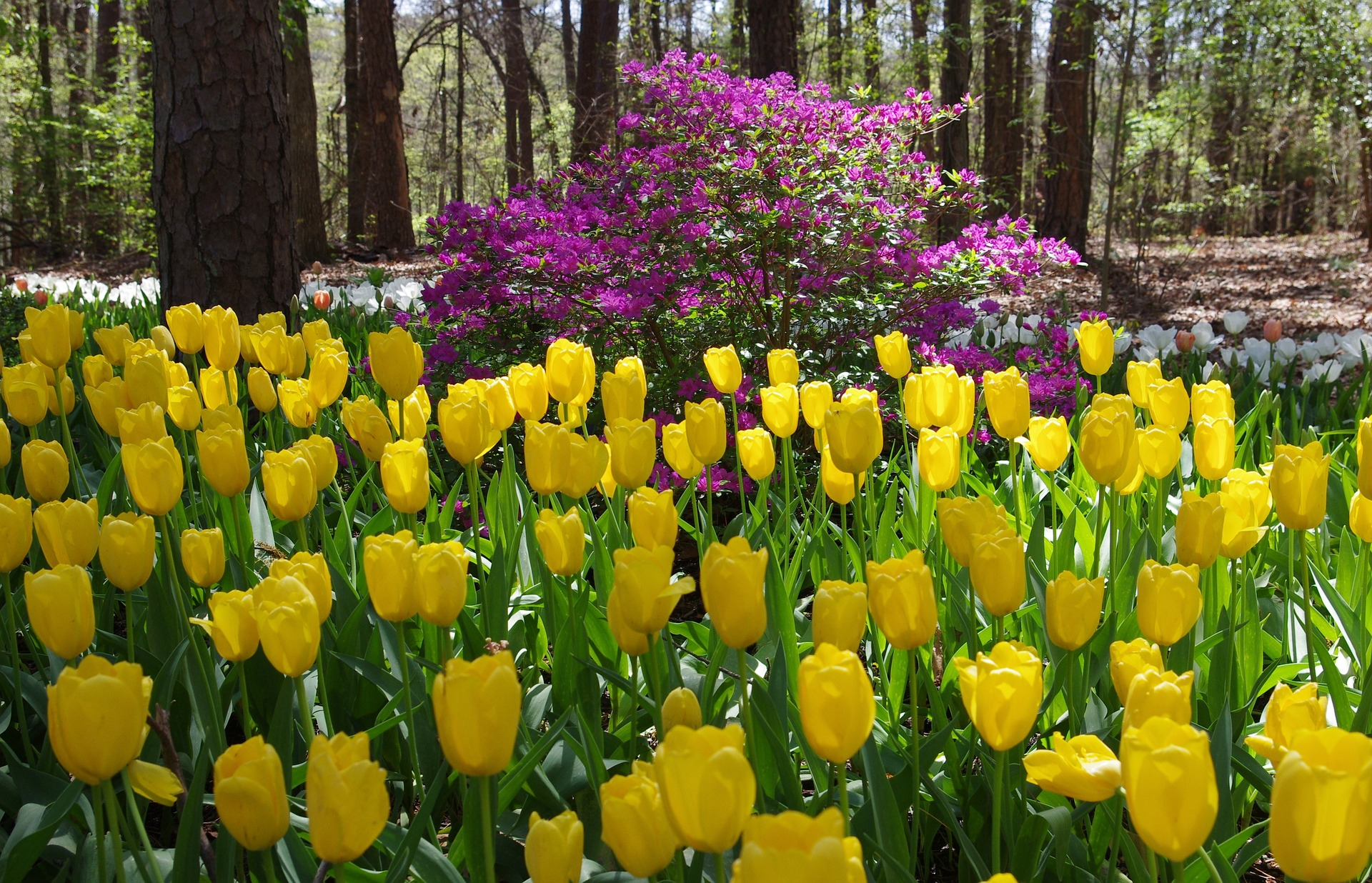 Tulips and Gardens